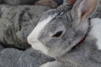 眠そうなウサギ
